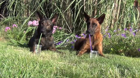 Clever dogs drink from straws during hot summer day