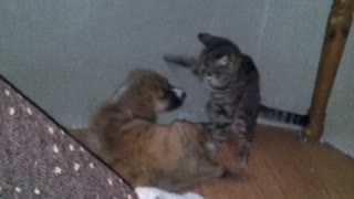Puppy and Kitten play fighting  - Video