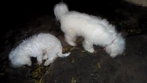 Dogs Busy Searching Bones at Night.