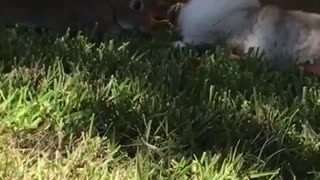 cute cat playing with big rat very strange  - Video