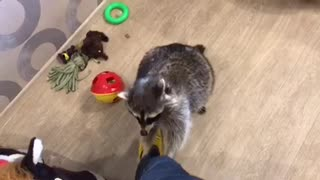 Raccoon Wants Chocolate - Video