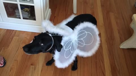 Dog dressed as Angel for Halloween