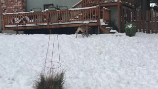 Great Dane / Daniff snow time