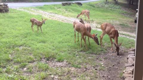 Deer, Deer and More Deer In Woman's Neighborhood Yard