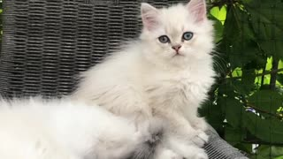 Two White Cats Like each other - Video