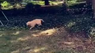 Golden retriever chases swing - Video