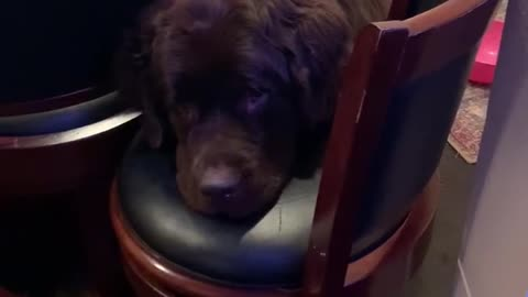 This playful Newfoundland shows off his serious mood
