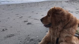 Everyone's favorite breed of dog enjoying the beach  - Video
