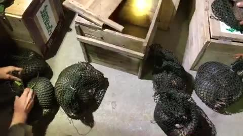 Hundreds Of Confiscated Pangolins Are Being Rescued By Save Vietnam's Wildlife