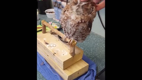 Owl Feels So Comfortable When Its Owner Massages It