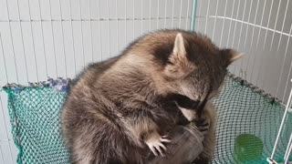 Raccoon sits on the hammock and eats the grapes in the barrel by hand.