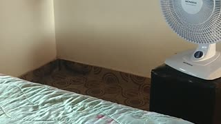 Cat Naps on Bed in Front of Fan