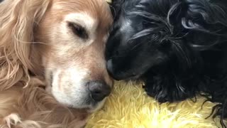 Black dog licks golden retriever head