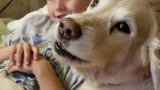 Golden Retriever selfishly barks for more attention - Video