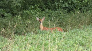 White tailed young deer jumps into woods