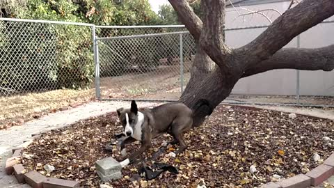 Dog has strange fascination with climbing trees