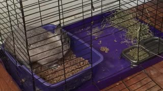 Cute bunny loves getting a litter box change - Video