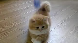 fluffy Kitten is confused  - Video