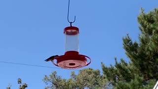 Finch Chased Hummingbird