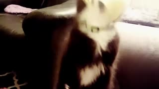 Collab copyright protection - black cat falls from sofa - Video