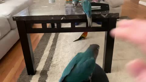 Baby Green Cheek Conures having play time
