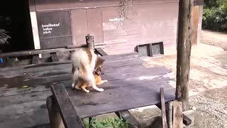 Dog on cat action - Video