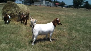 BEAUTIFUL BABY GOATS PLAYING 2  - Video