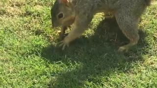 Squirrel hiding nuts in grass - Video