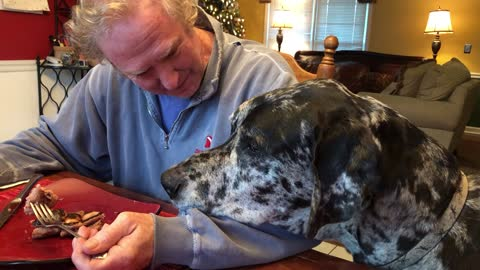 Great Dane anxious to lick syrup of owner's plate