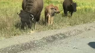 Bison Warns People to Back Away From Bison Baby