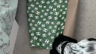 Dog play fights with wrapping paper