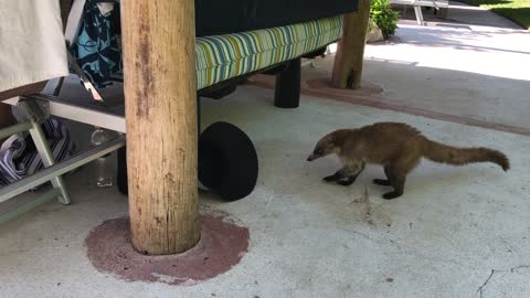 Wild coati roams Mexico resort looking for lunch