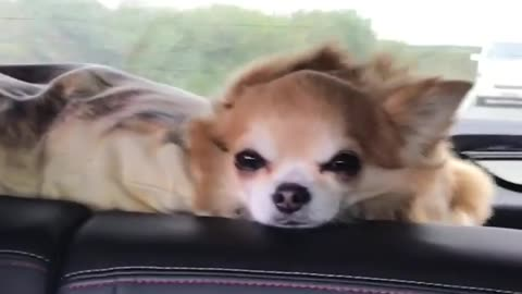 Dogy Flying Inside the Car