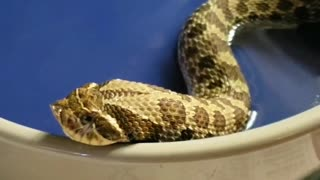 Little Hognose Adjusts After Eating - Video