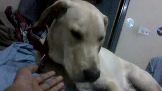 Cute Labrador Licking hand of the Owner and went to sleep  - Video