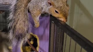 Smokey the Squirrel Loves to Be Petted