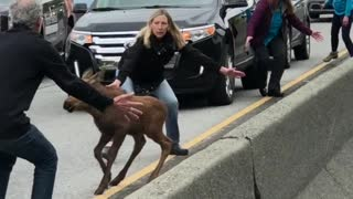 Moose Brings Entire Highway to a Standstill - Video