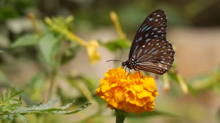 Butterfly Botanical Flower Nature Summer Insect Spring Garden - Video
