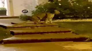 Mountain Lion Chirps Outside of Neighbor's Front Porch