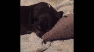 Puppy having fun playing with toy  - Video