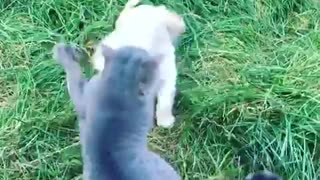 Cat slapping puppies face multiple times