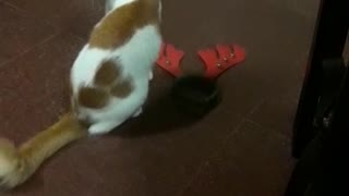Orange white cat plays with holiday headbands  - Video