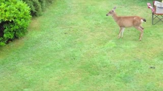 Playful Otter and Deer - Video