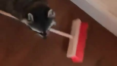 Momma racoon cleaning