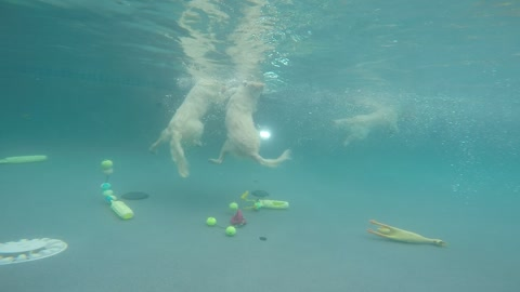 Golden Retrievers jump in and dive underwater for toys