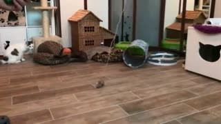 Collab copyright protection - two cats playing toy fail fall - Video