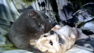 The cat gnaws and licks sobachy flesh  - Video