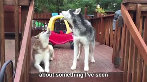 Mishka the Talking Husky is mad at cats!