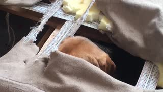 Adorable Beagle Completely Destroys Couch - Video