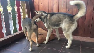 Two husky fight in slow motion
